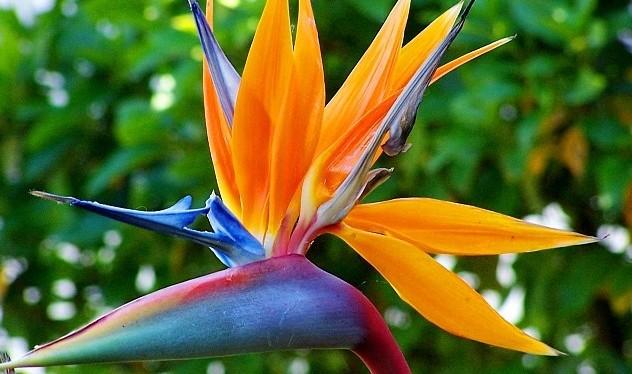 Flores – a belastrelitzia